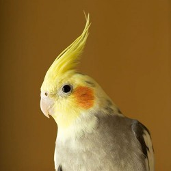 Some Interesting Facts About Your Cockatiels