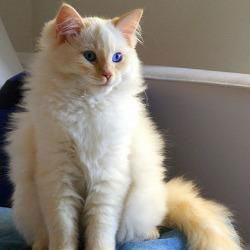 Caring for a Rag doll Cat