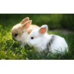 Choosing a Pet Rabbit Thats Right For You