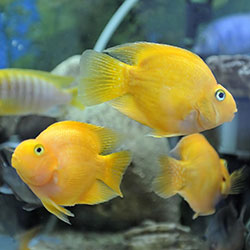 Should Know This - If You're About To Add A Cichlid In Your Tank??