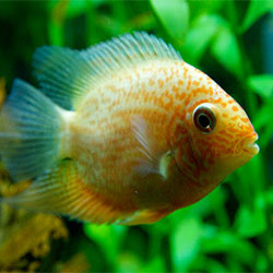 Aquarium Fish Health: Dealing With Cotton Mouth Disease (Mouth Fungus)