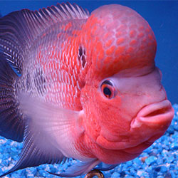 Basics Of Flower Horn Fish Keeping