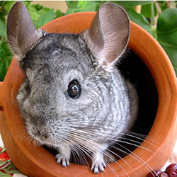 All About Your New Pet - Chinchilla!