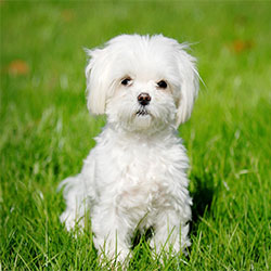 Qualities and Characteristics Of Maltese Dogs
