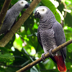 African Grey Parrot : One Of The Greatest Species Of Parrots