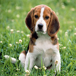 All About Beagle